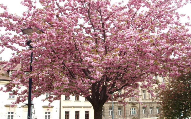 Дерево цветет в Праге