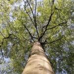 Знаменитые деревья Праги